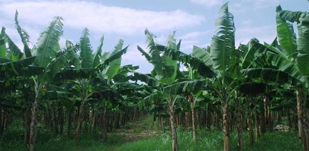 plantacion-banano